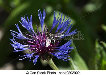 Stock Photography of Cornflower (Centaurea cyanus) with bee.