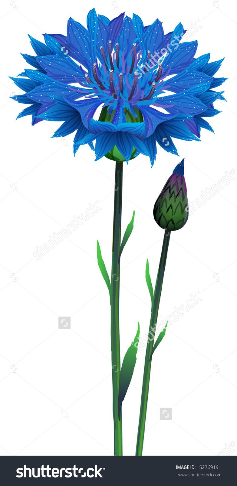 Flowers Blue Cornflower Centaurea Cyanus Vector Stock Vector.