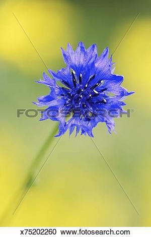 Stock Photography of Cornflower, Centaurea cyanus, close up.