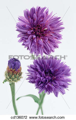 Stock Photo of Cornflower (Centaurea cyanus) cd136072.