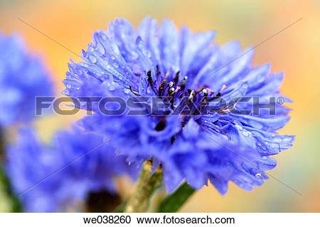 Stock Photography of Cornflower (Centaurea cyanus) we038260.