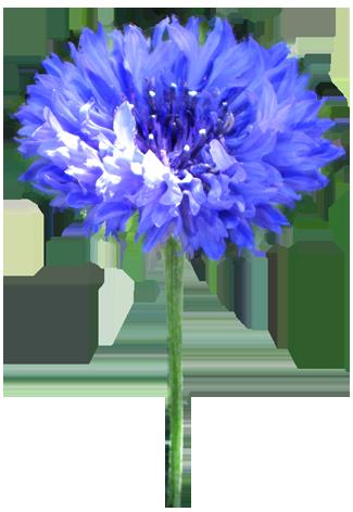 Cornflower Clipart.