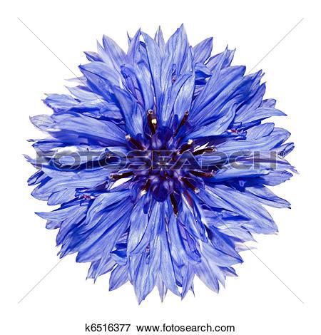 Picture of Single Blue Cornflower.