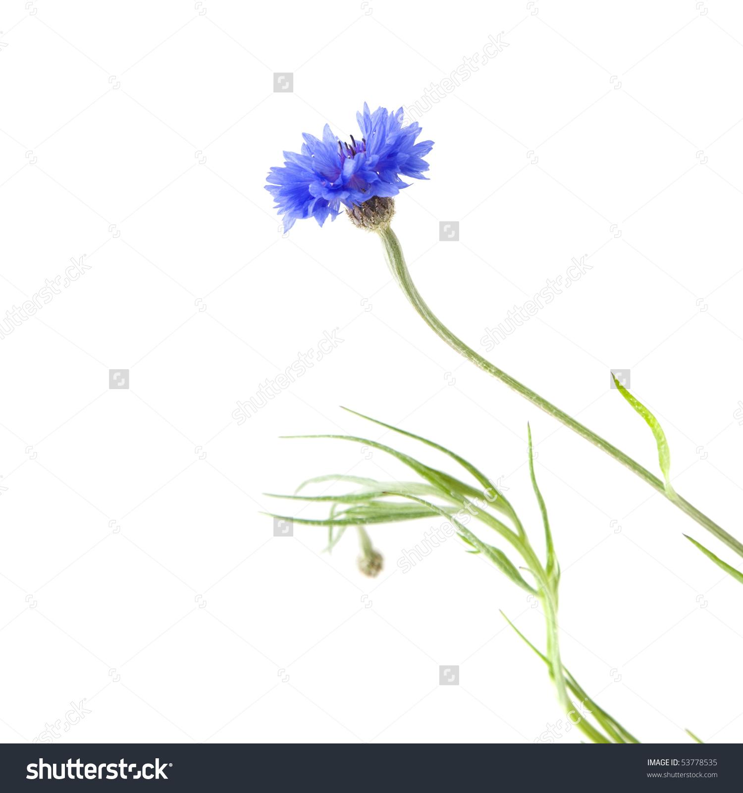 Cornflower (Centaurea Cyanus , Bachelor'S Button, Bluebottle.