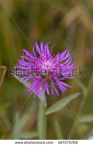 Centaurea Jacea Stock Photos, Royalty.