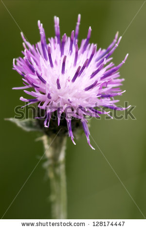 Centaurea Scabiosa Stock Photos, Royalty.