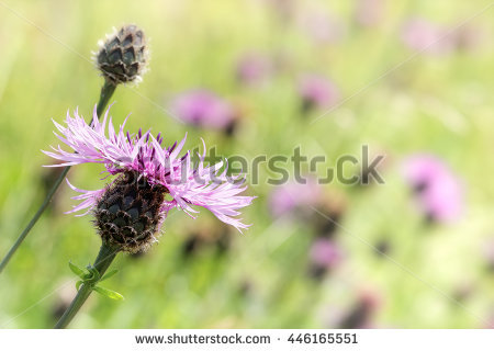 "brown Knapweed"" Stock Photos, Royalty."