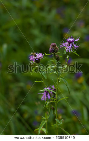 Brown Knapweed Stock Photos, Royalty.