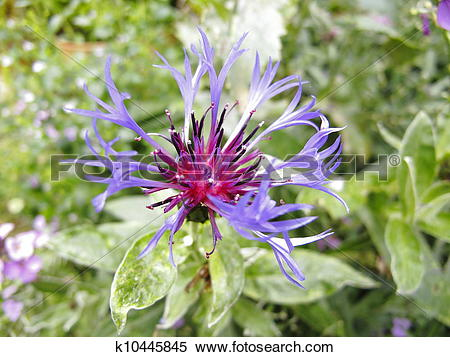 Stock Image of Centaurea montana (mountain Cornflo k10445845.
