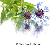 Stock Photo of cornflower.