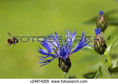 Stock Photography of Bumblebee (Bombus ) in Flight, Batchelor's.