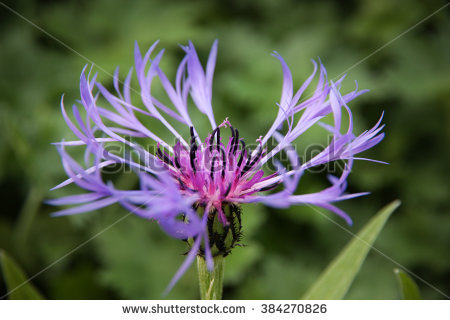 "perennial Cornflower"" Stock Photos, Royalty."