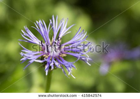 "perennial Cornflower"" Stock Photos, Royalty."