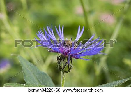 Pictures of Honeybee (Apis mellifera) on perennial cornflower.
