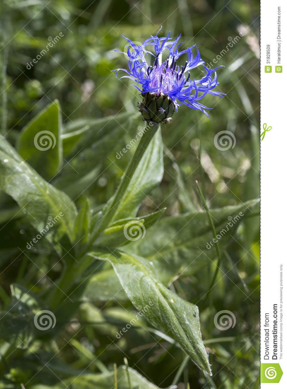 Centaurea Montana Flower Royalty Free Stock Images.