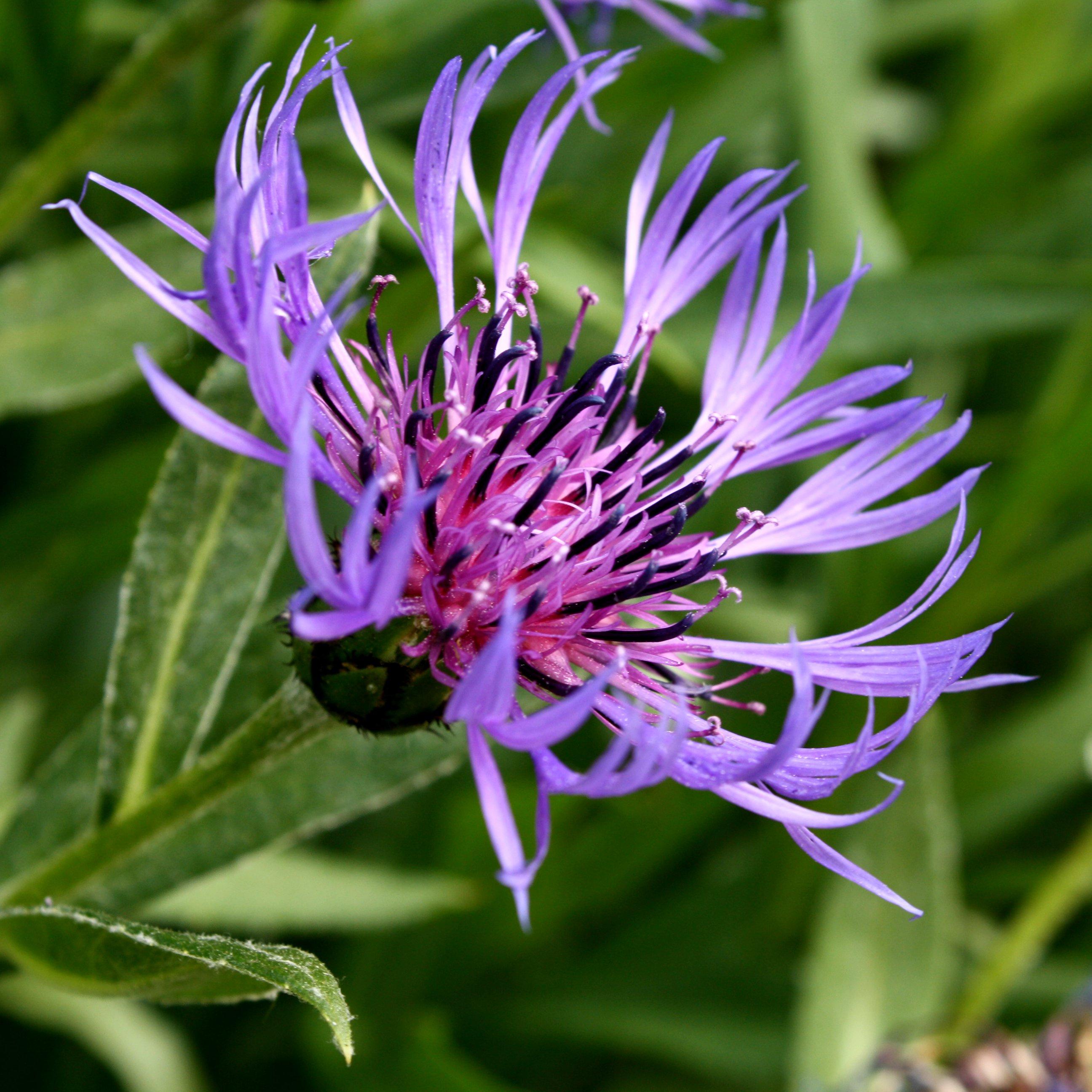 Purple Centaurea Montana Flower Picture.