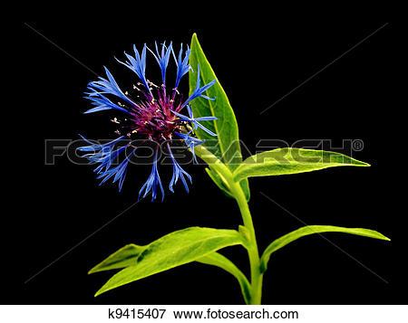 Picture of cornflower.