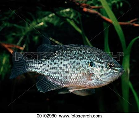 Stock Photography of Juniors, animal, animals, bass, centrarchidae.
