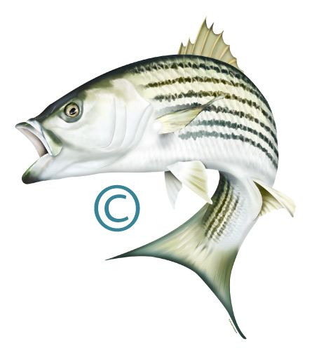 Striped Bass (Rockfish) Illustration Photoshop clipart.http://www.