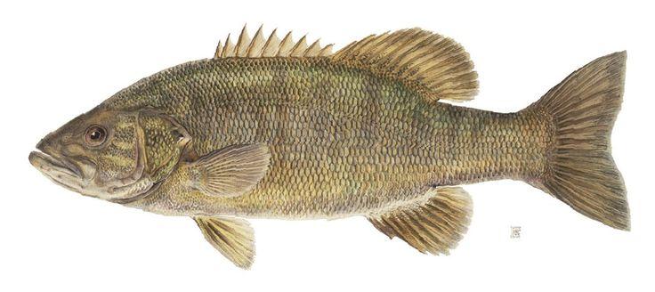 Smallmouth Bass.
