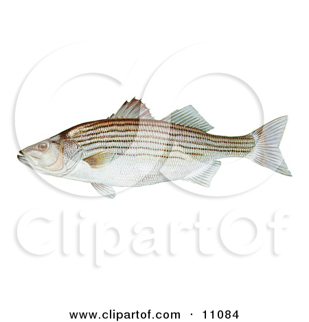 Clipart Illustration of a Black Crappie Fish (Pomoxis.