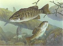 Centrarchidae.