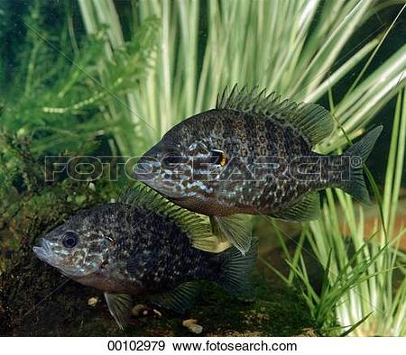 Stock Photograph of Juniors, animal, animals, bass, centrarchidae.