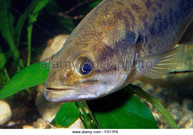 Black Bass Micropterus Salmoides Stock Photos & Black Bass.