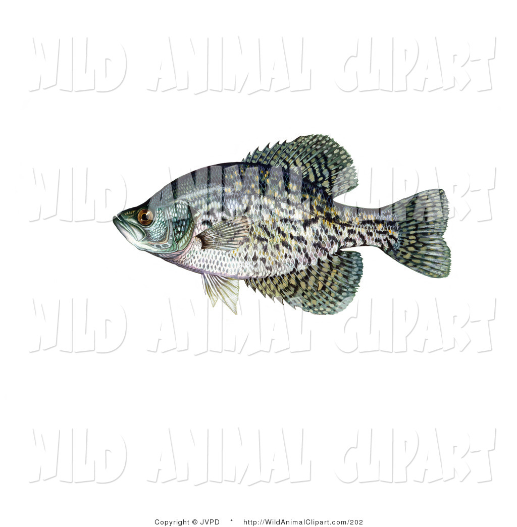 Clip Art of a Green and Black Crappie Fish (Pomoxis Nigromaculatus.