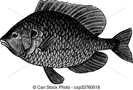 Vector Clip Art of Pumpkinseed Sunfish or Lepomis gibbosus.