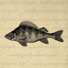 Walleye fish illustration.