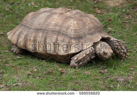 African Spurred Tortoise Banco de Imagens, Fotos e Vetores livres.