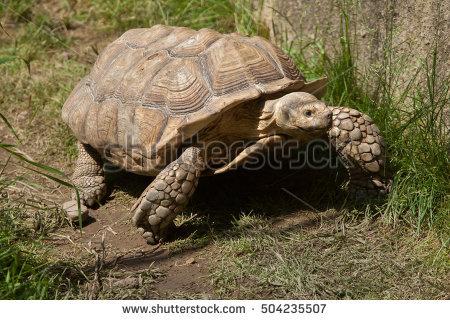 Sulcata Tortoise Stock Photos, Royalty.