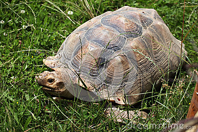 African Spurred Tortoise (Centrochelys Sulcata). Stock Photo.