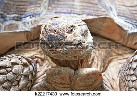 Stock Photography of African spurred tortoise (Centrochelys.