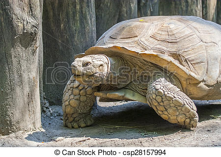 Stock Photographs of African spurred tortoise (Centrochelys.