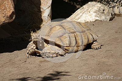 African Spurred Tortoise (Centrochelys Sulcata) Stock Photo.