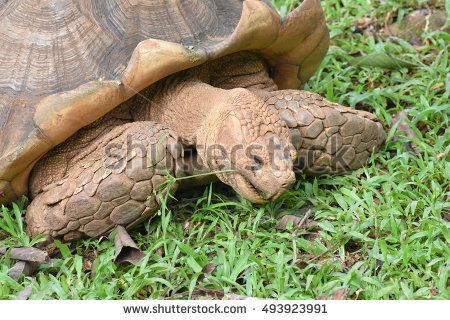 African Spurred Tortoise Lizenzfreie Bilder und Vektorgrafiken.