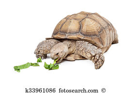 Centrochelys sulcata Images and Stock Photos. 30 centrochelys.
