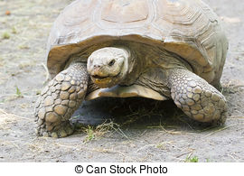 Stock Photo of Baby African spurred tortoise.