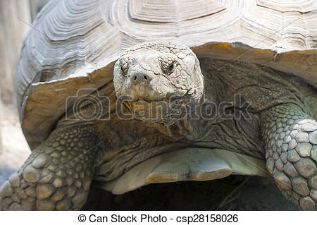 Stock Photo of African spurred tortoise (Centrochelys sulcata).