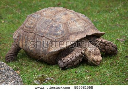 Male Sulcata Tortoise Slowly Climbing On Stock Photo 154720235.