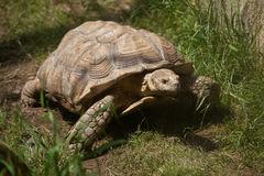 African Spurred Tortoises (Geochelone Sulcata) Royalty Free Stock.
