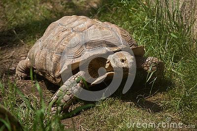 African Spurred Tortoise (Centrochelys Sulcata). Stock Photo.