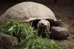 African Sulcata Tortoise In Grass Stock Photo.