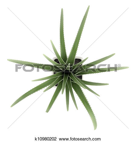 Clip Art of Century plant or Maguey k10980202.