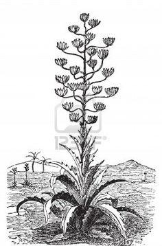 century plant tattoo.
