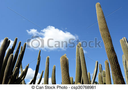 Pictures of Tall unbranched columnar habit Cephalocereus against.
