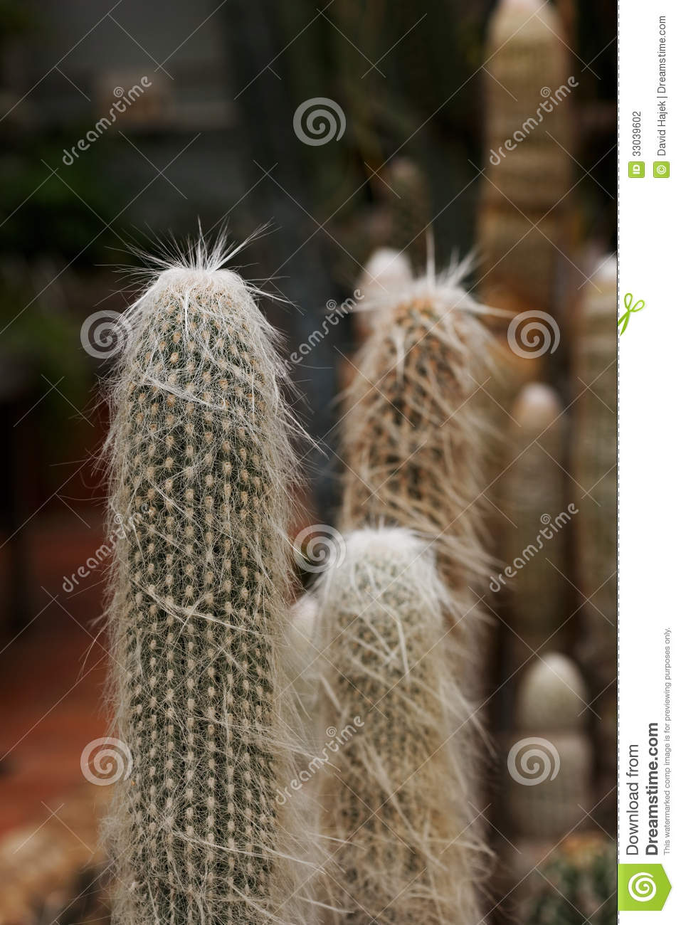 Old Man Cactus Stock Photography.
