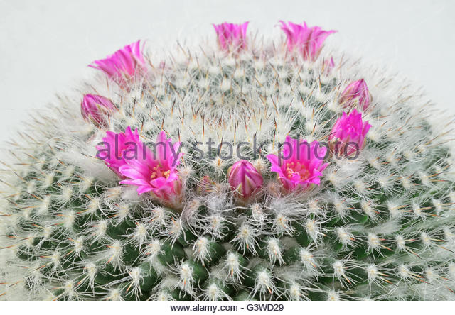 Old Man Cactus Stock Photos & Old Man Cactus Stock Images.